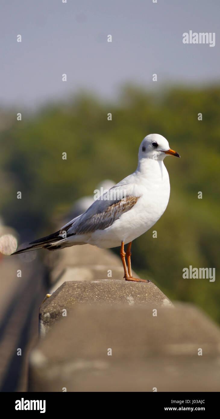 Indian sea gull - Stock Image