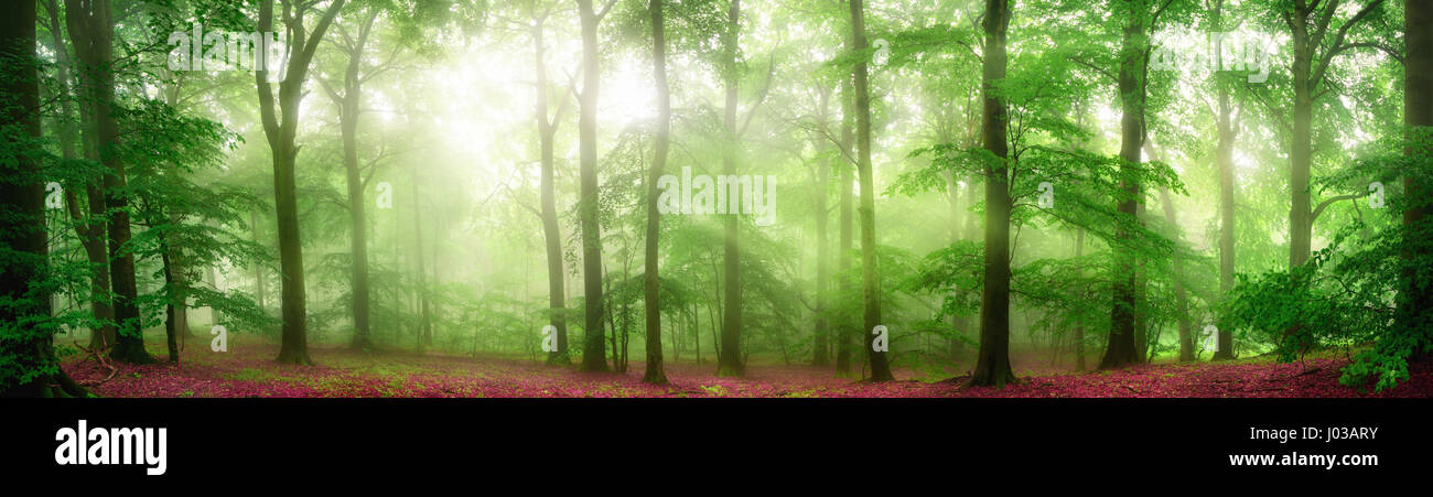 Green forest panorama with soft rays of light falling through fog and flattering the fresh foliage - Stock Image