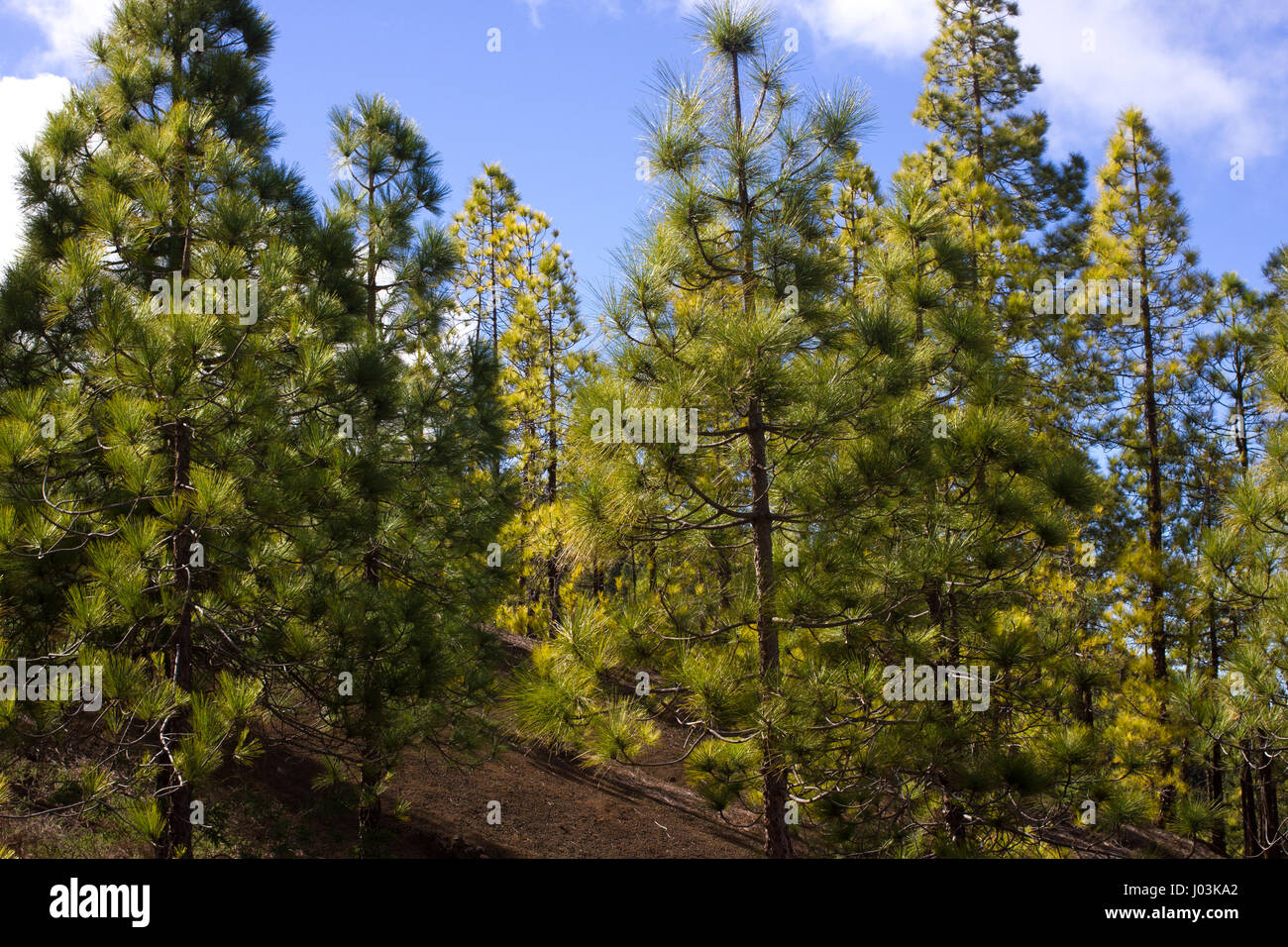 Beautiful panorama of pine forest with sunny summer day. Coniferous trees. Sustainable ecosystem. Tenerife, Teide Stock Photo