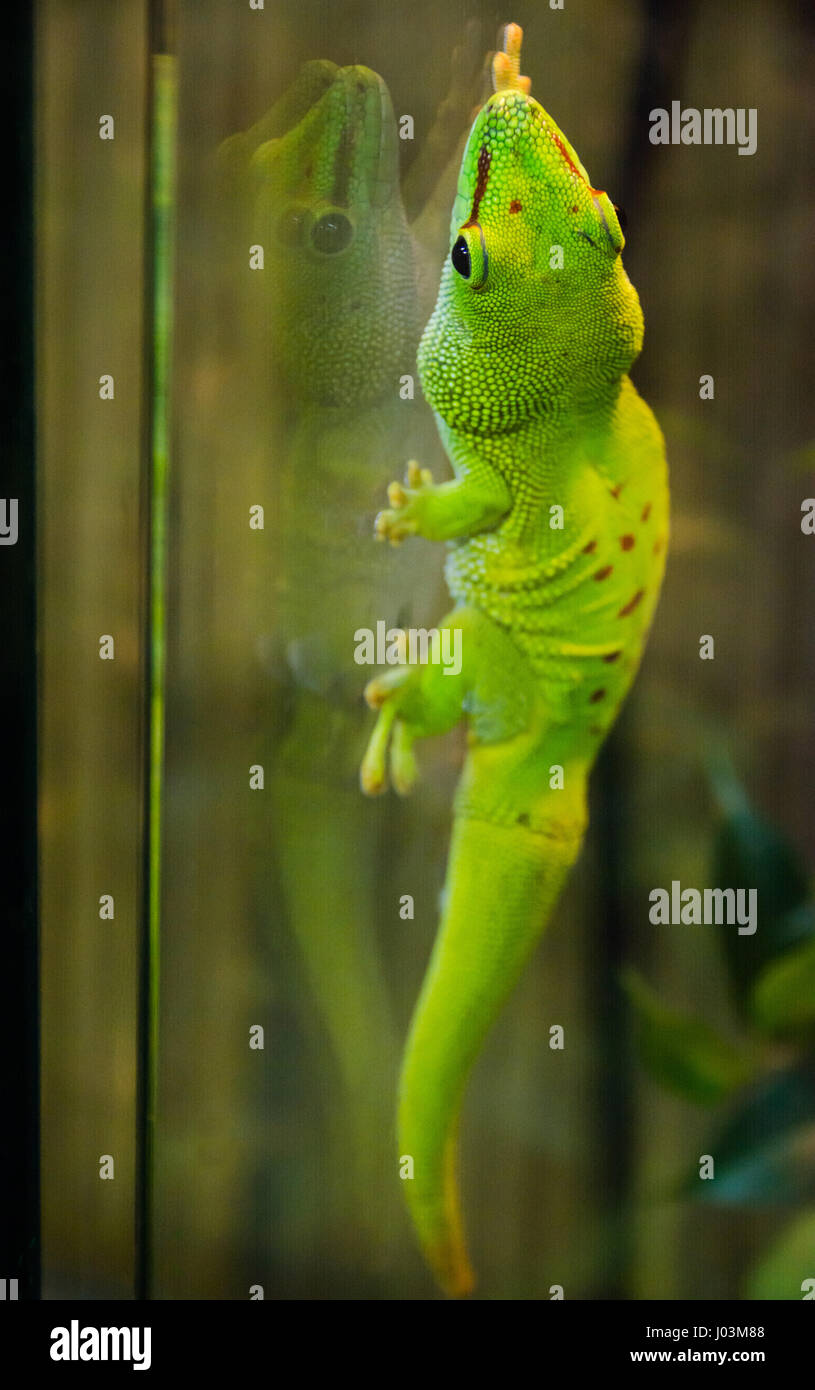 green gecko holding on glass  with suction cups - Stock Image