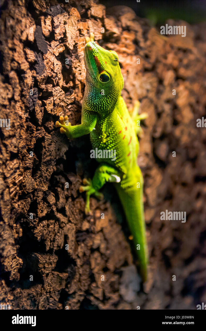 green gecko running on a cork wall - Stock Image
