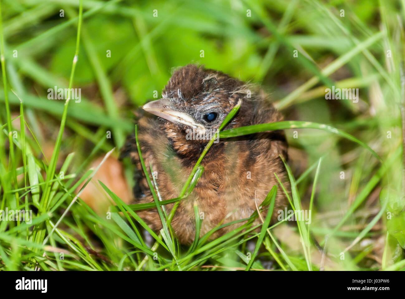 Baby Blackbird chick in grass. - Stock Image
