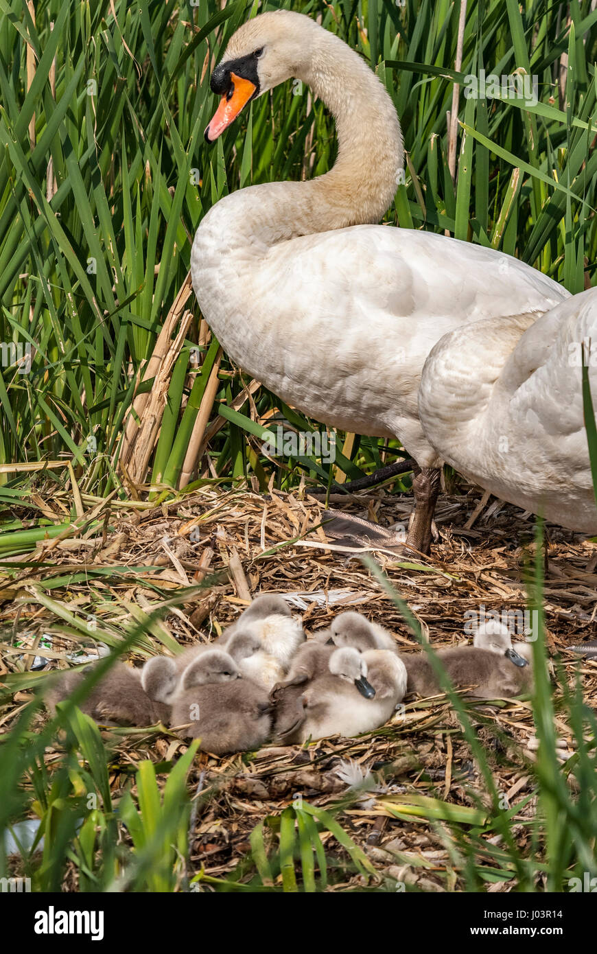 Swan with cygnets on nest. - Stock Image