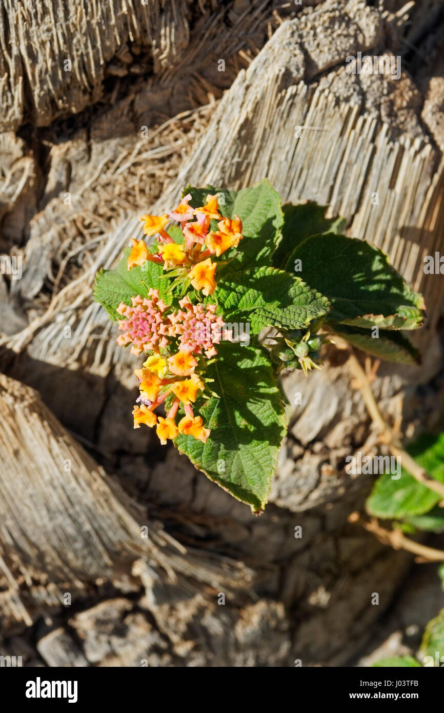 Colourful Wild Sage flowers against the bark of a palm tree Stock Photo
