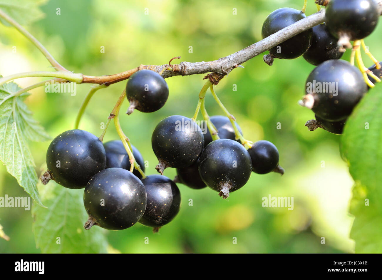 close-up of a  black currant in the garden Stock Photo