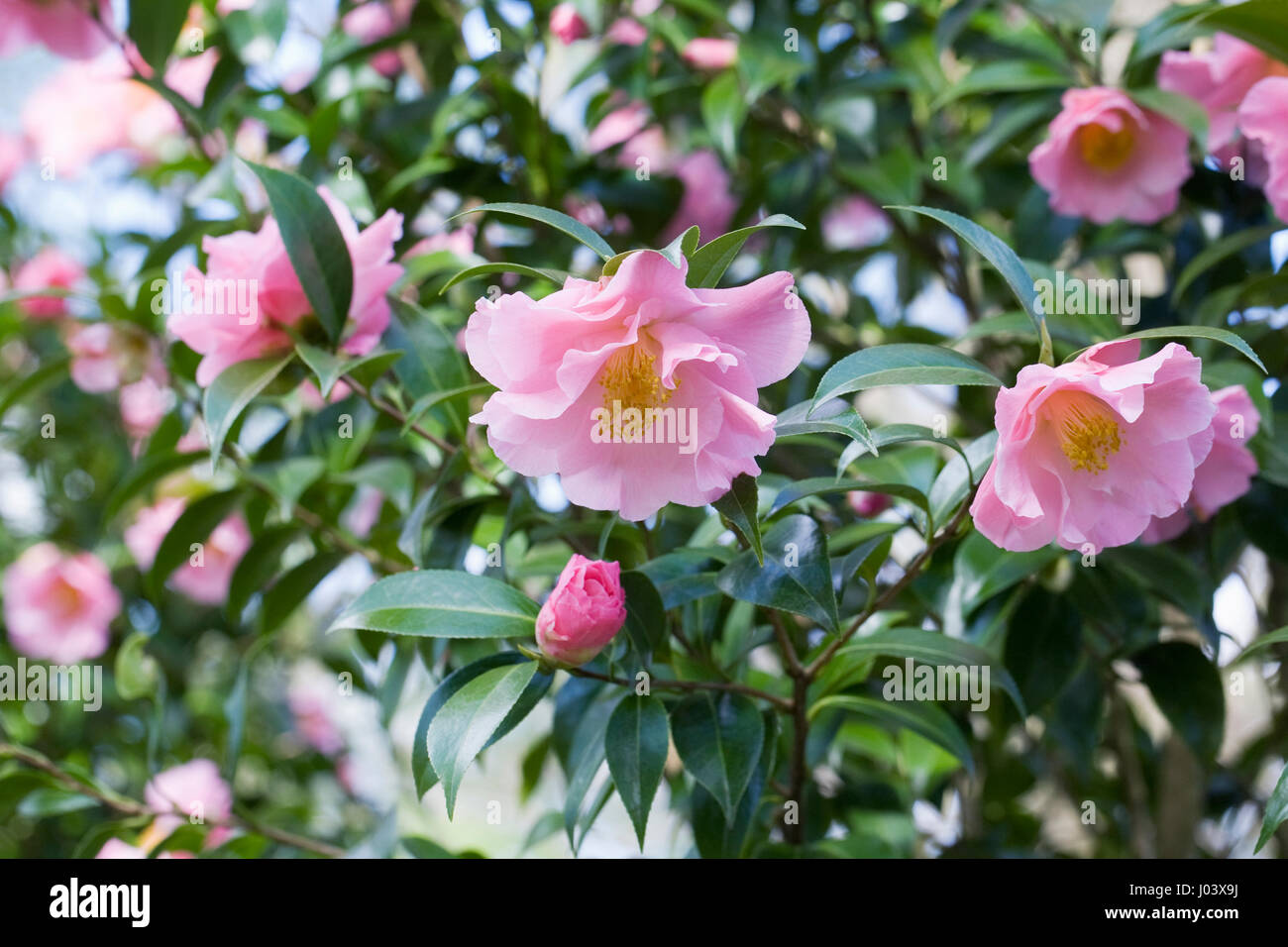 Camellia x williamsii Tiptoe flowers in Spring. - Stock Image