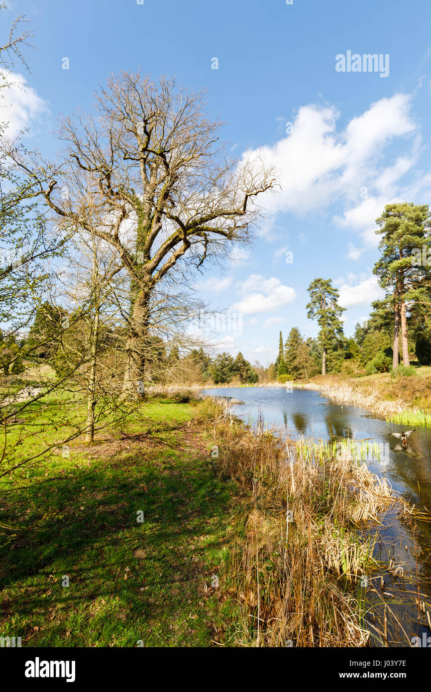 Bare, leafless deciduous trees beside a lake at Bedgebury National Pinetum, Bedgebury, Goudhurst, Kent south-east - Stock Image