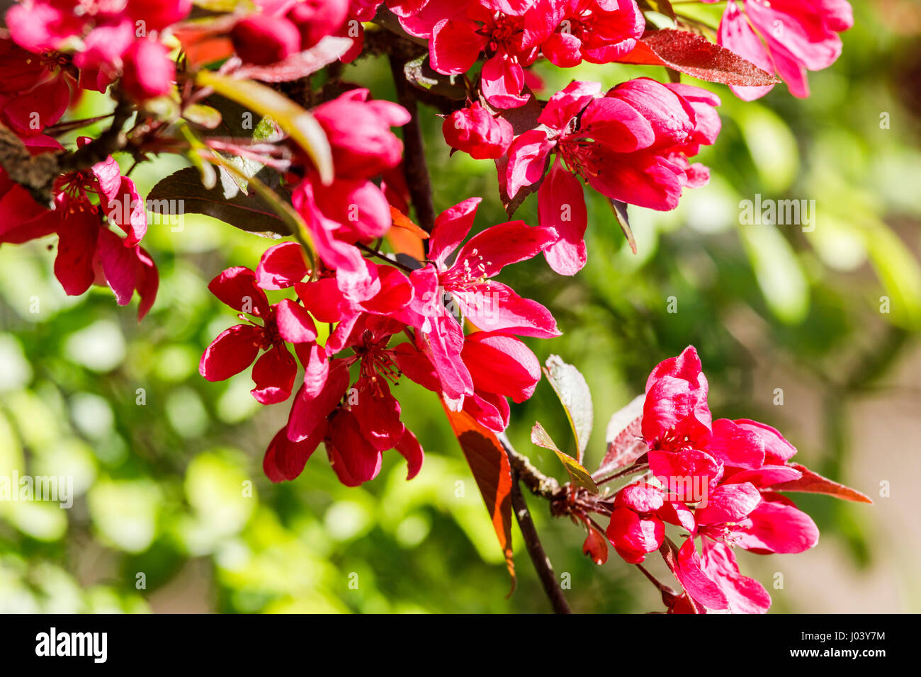 Crab apple blossom close up uk stock photos crab apple blossom purple to dark pink or red blossom of crab apple malus tree flowering in mightylinksfo