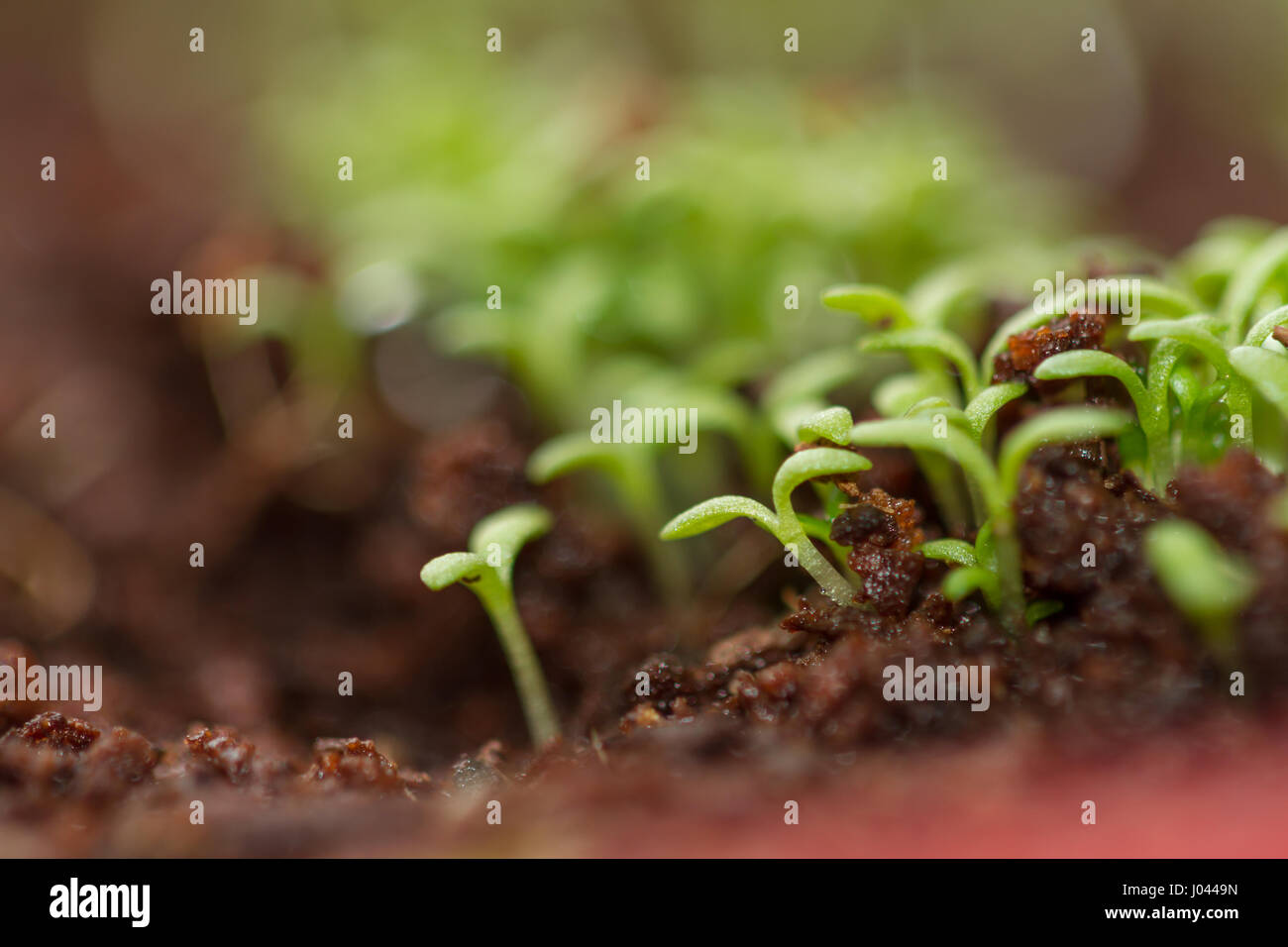 Green chamomile sprouts. Cress sprouts - Stock Image