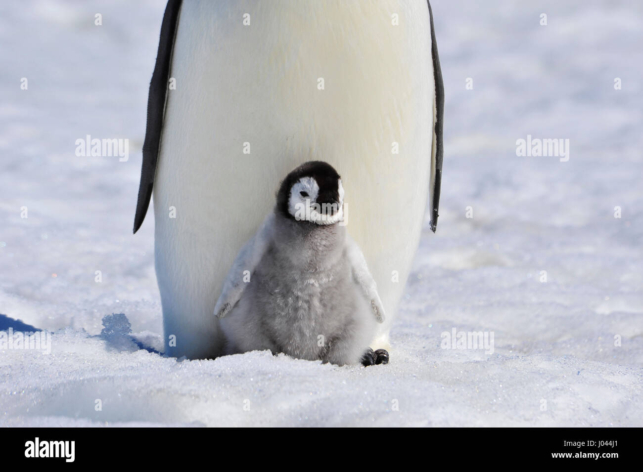 Emperor Penguin with chick - Stock Image