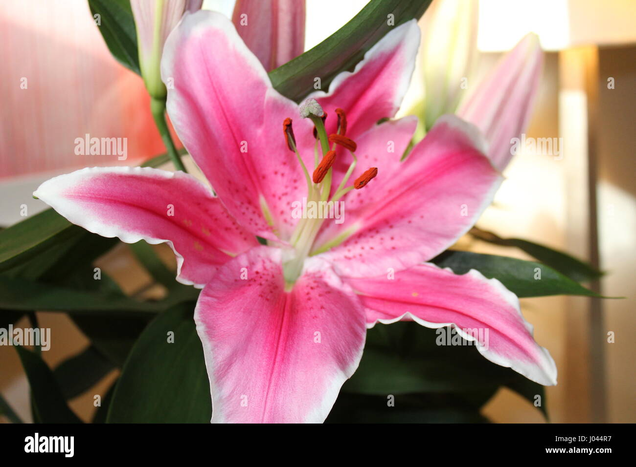 Flower White Pink Lily Bud Leaves Stock Photos Flower White Pink
