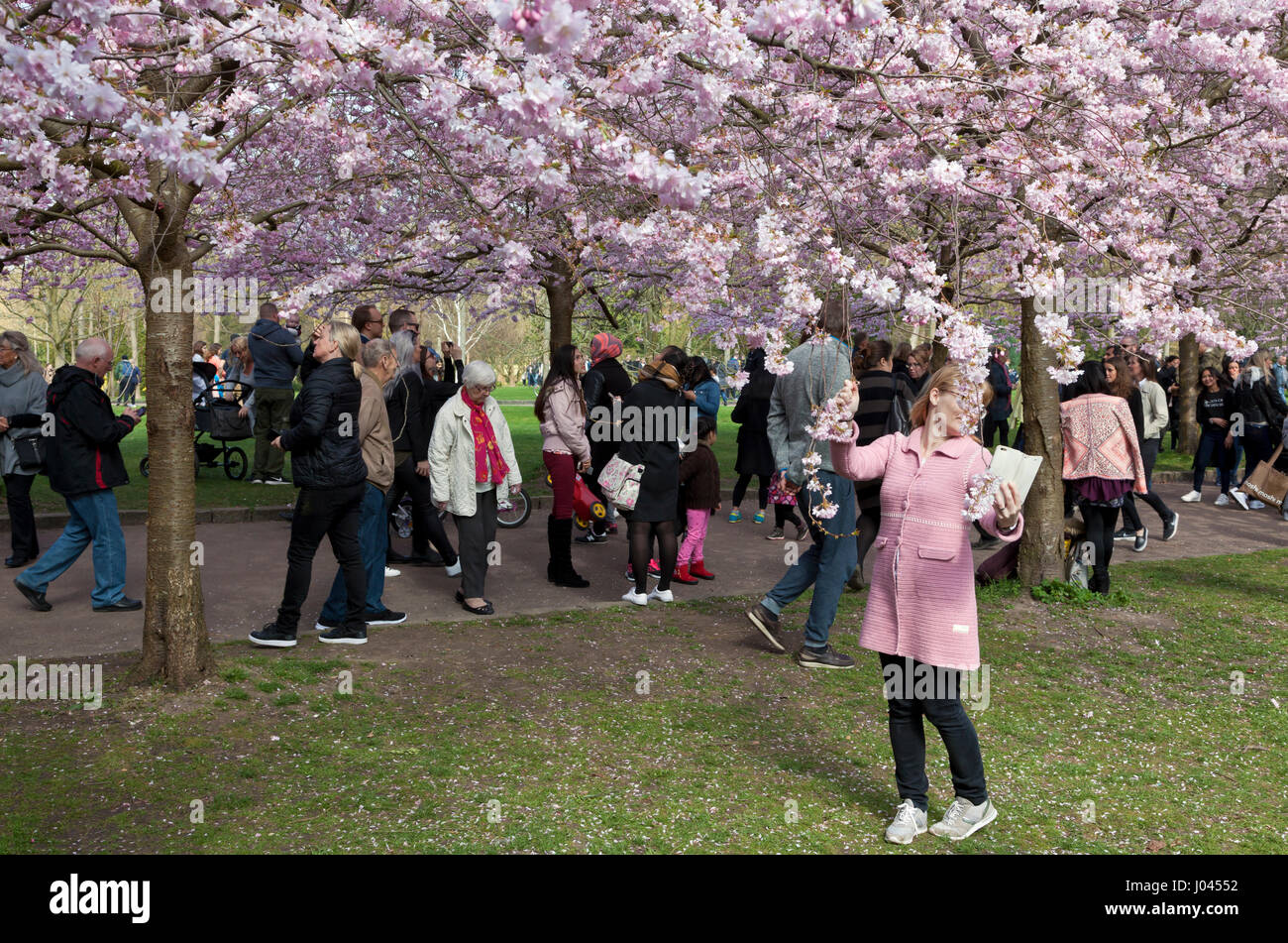 The Cherry Blossom Avenue at Bispebjerg Cemetery, Copenhagen, Denmark, has seen a visitor boom in recent years. - Stock Image