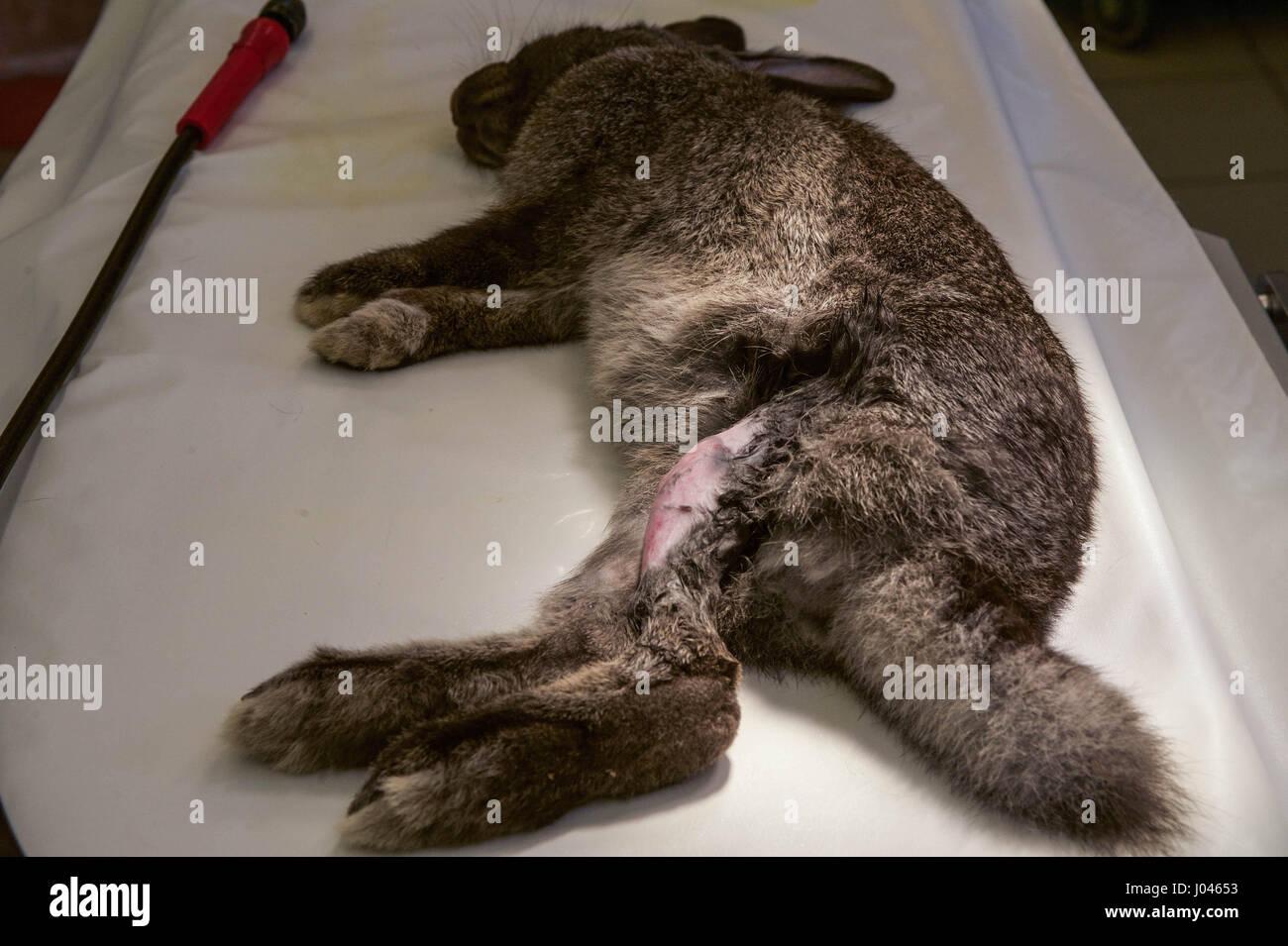 Preparing rabbit for surgery - Stock Image