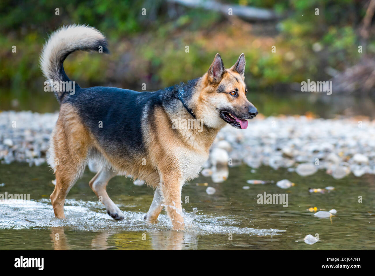 alaskan malamute and german shepherd mix