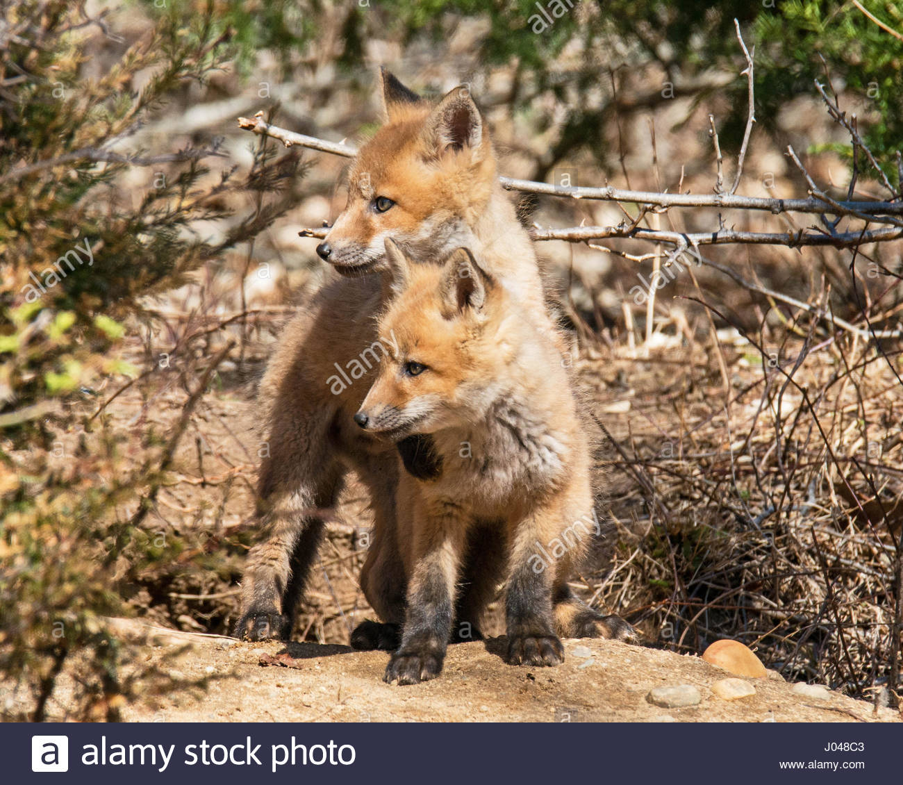 Consider other pets. Wildlife fox puppies.When wild/tame foxes age from juvenile to mature they go through hormonal - Stock Image
