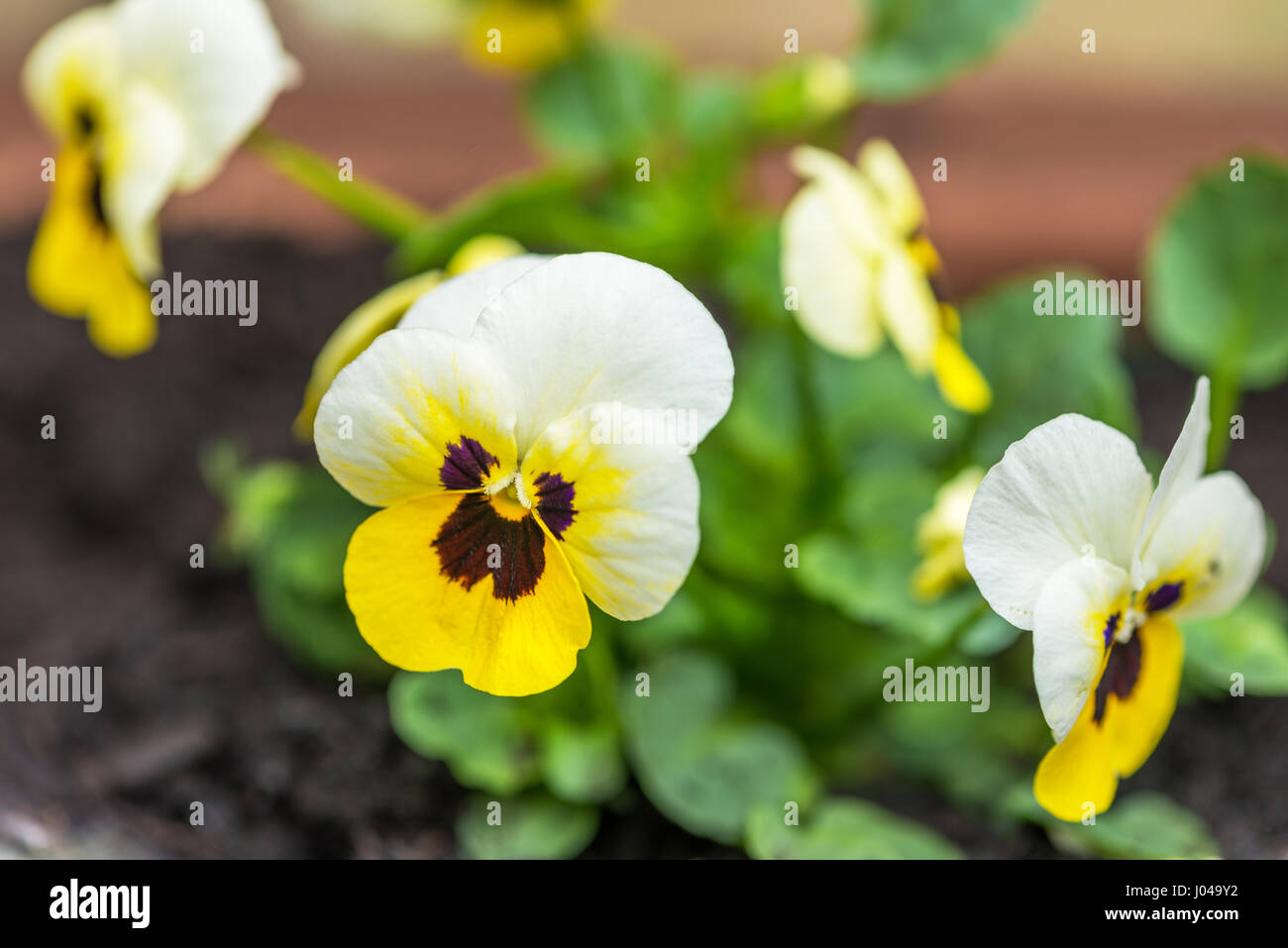 Flowering Pansy. Viola Tricolor - Stock Image