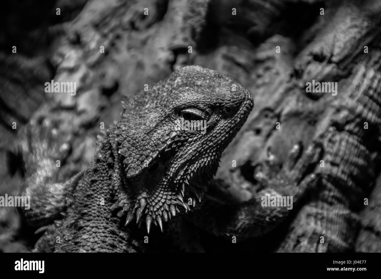 Bearded Dragon - Stock Image