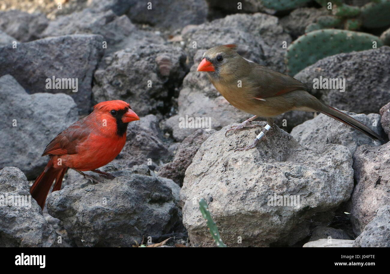 Male and female Northern or Red Cardinal (Cardinalis cardinalis) Stock Photo