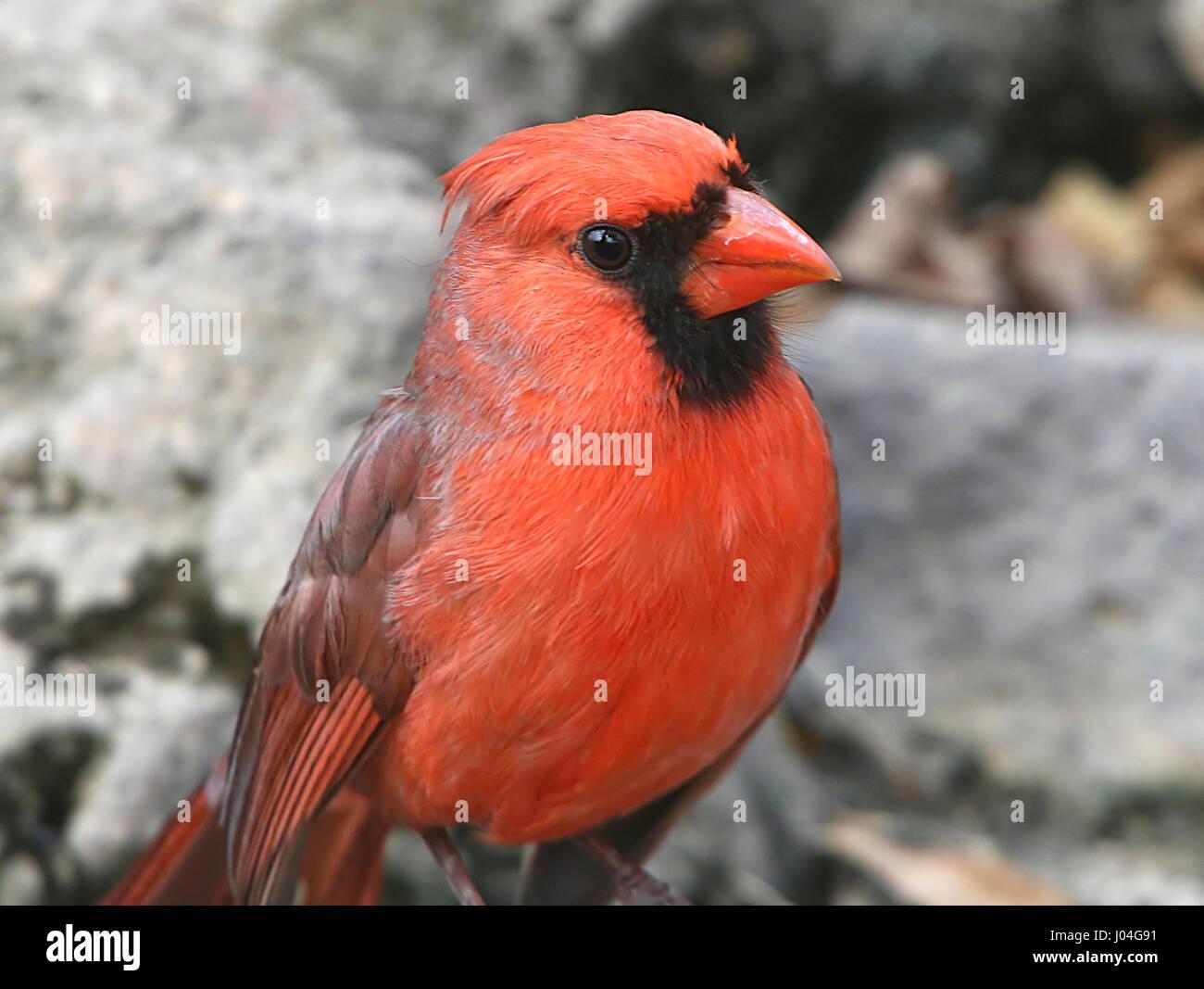 Male Northern or Red Cardinal (Cardinalis cardinalis) Stock Photo