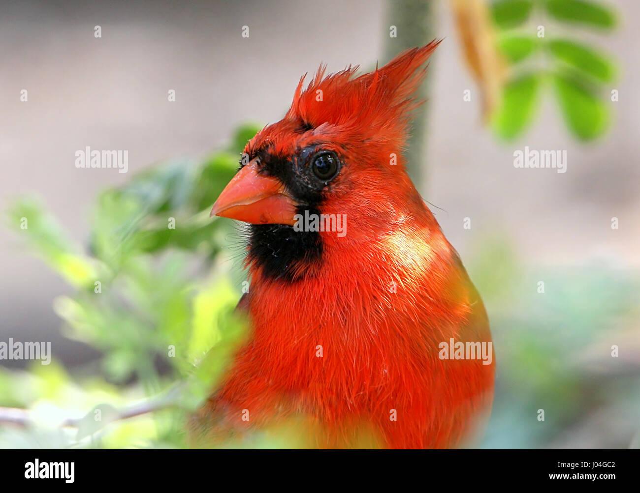 Extreme closeup of a Male Northern or Red Cardinal (Cardinalis cardinalis) Stock Photo