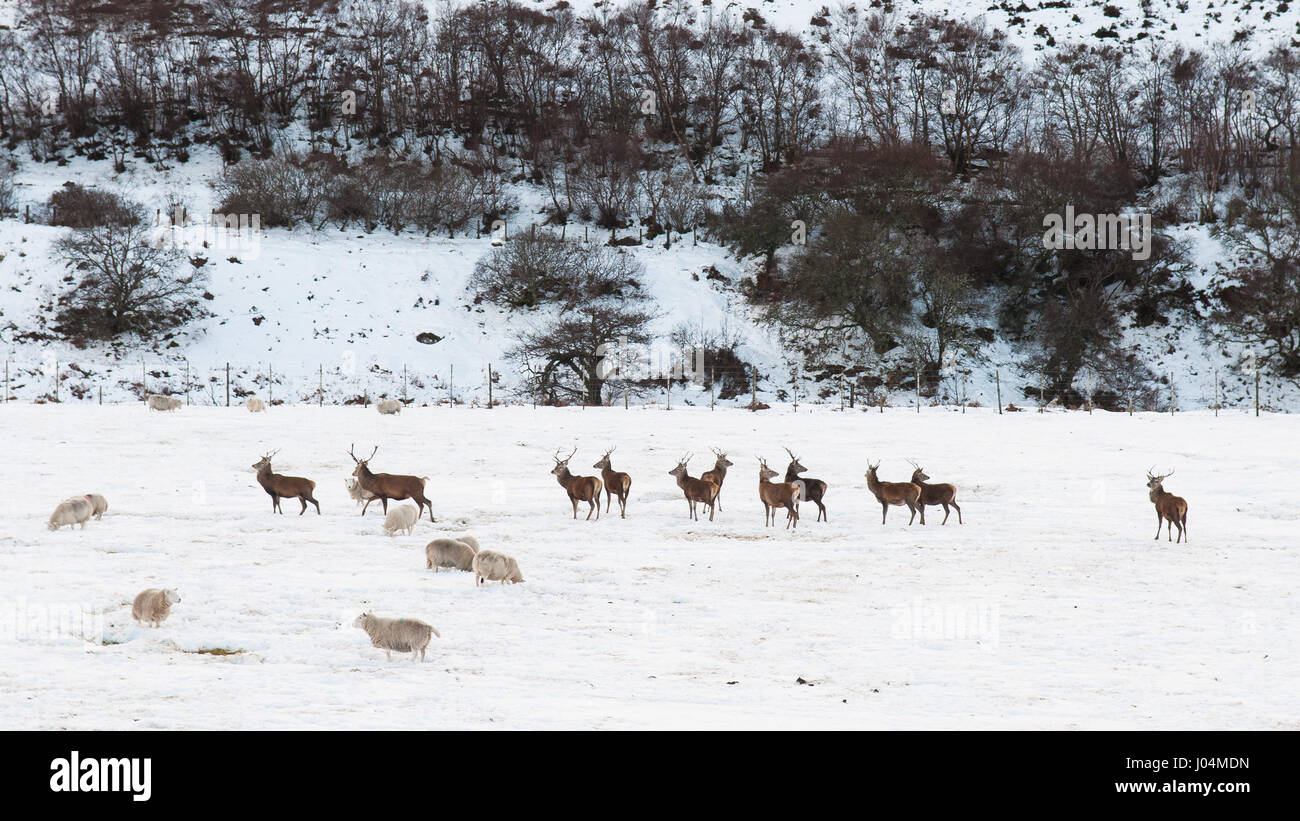 Sheep and deer graze in a farm field thick with winter snow in Strath of Kildonan valley at Helmsdale in Sutherland - Stock Image
