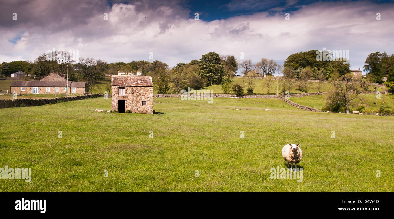 A lone sheep in a field in Teesdale in England's County Durham. - Stock Image