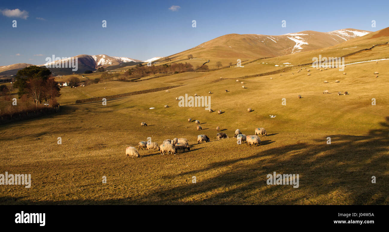 Sheep graze on the sunlit mountainsides of the Howgill Fells in England's Yorkshire Dales national park. - Stock Image