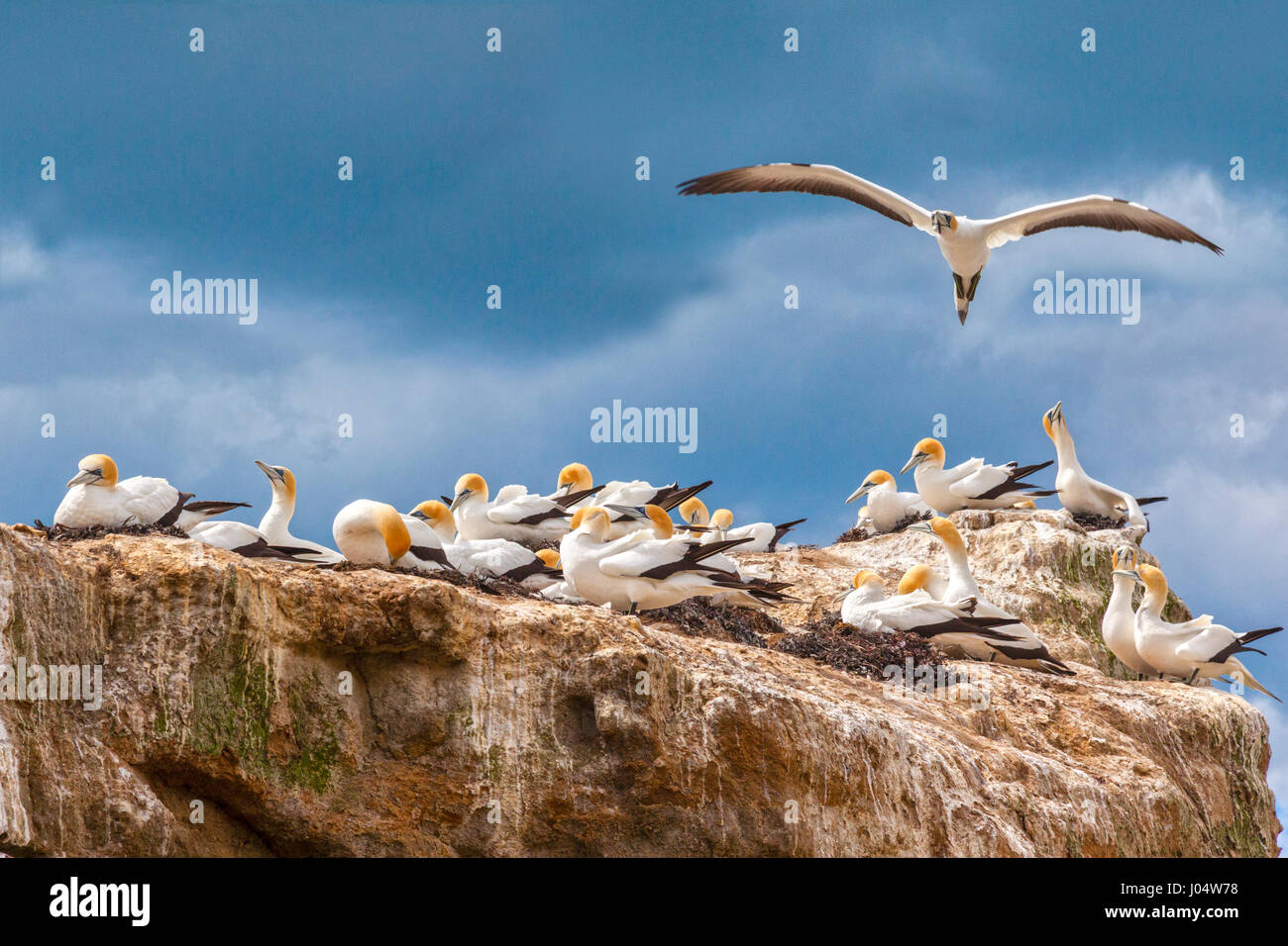 Black Reef Gannet Colony, Cape Kidnappers, Hawkes Bay, New Zealand. - Stock Image