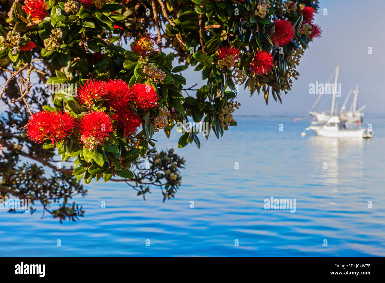 Known as the New Zealand Christmas Tree because it usually flowers at Christmas, Pohutukawa at Russell, Bay of Islands, - Stock Image