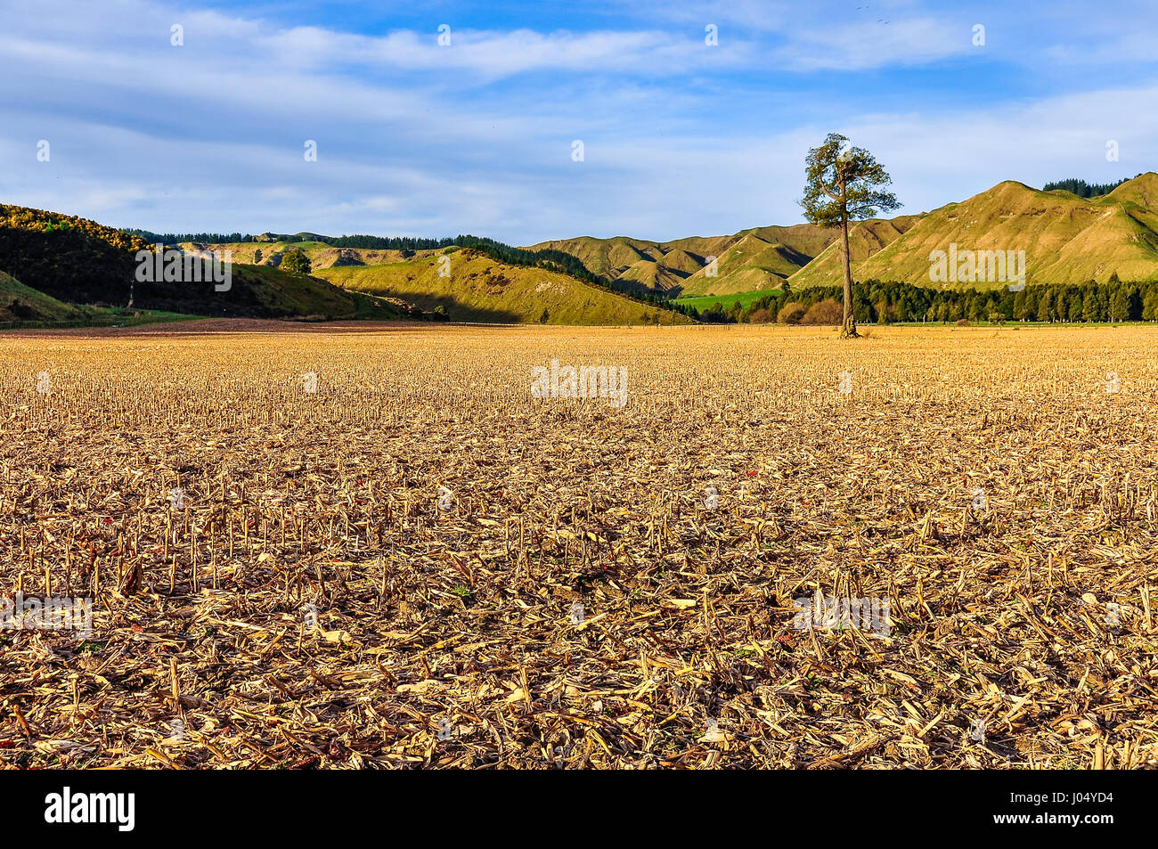 Field with a lonely tree in the Whanganui National Park, North Island of New Zealand - Stock Image
