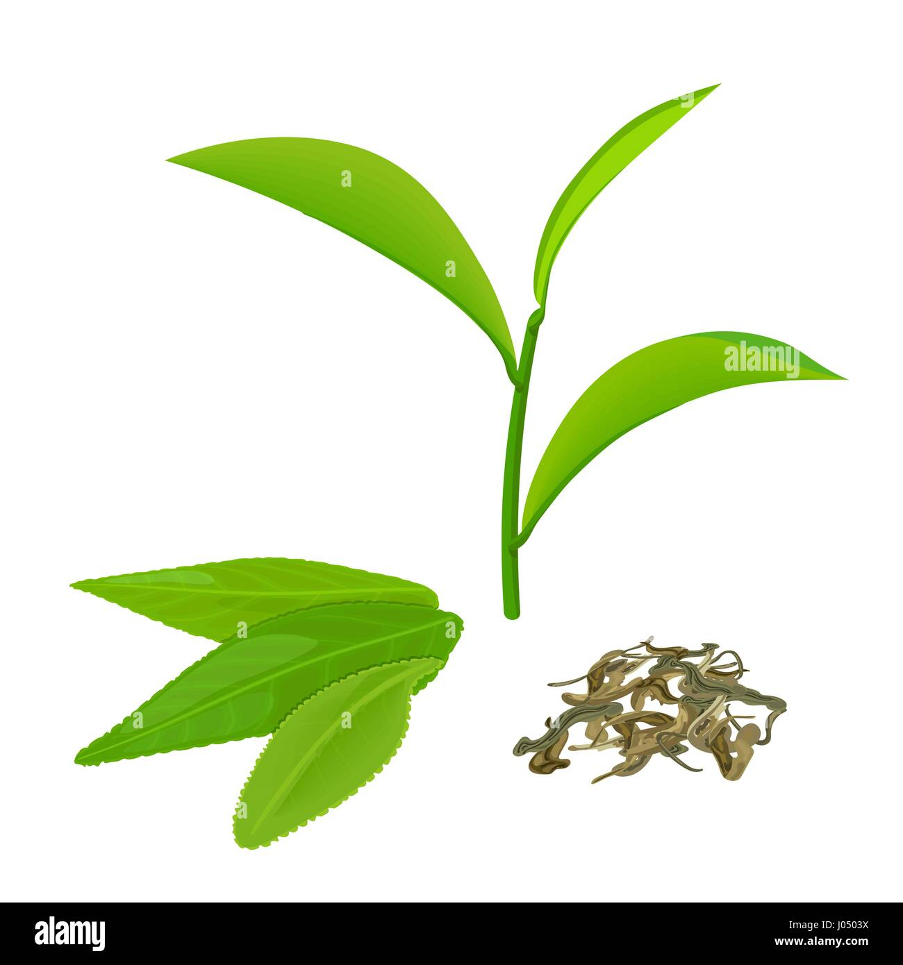 Green tea leaves and twig, fermented tea, isolated on white background. Side view. Close up. Vector illustration. - Stock Vector