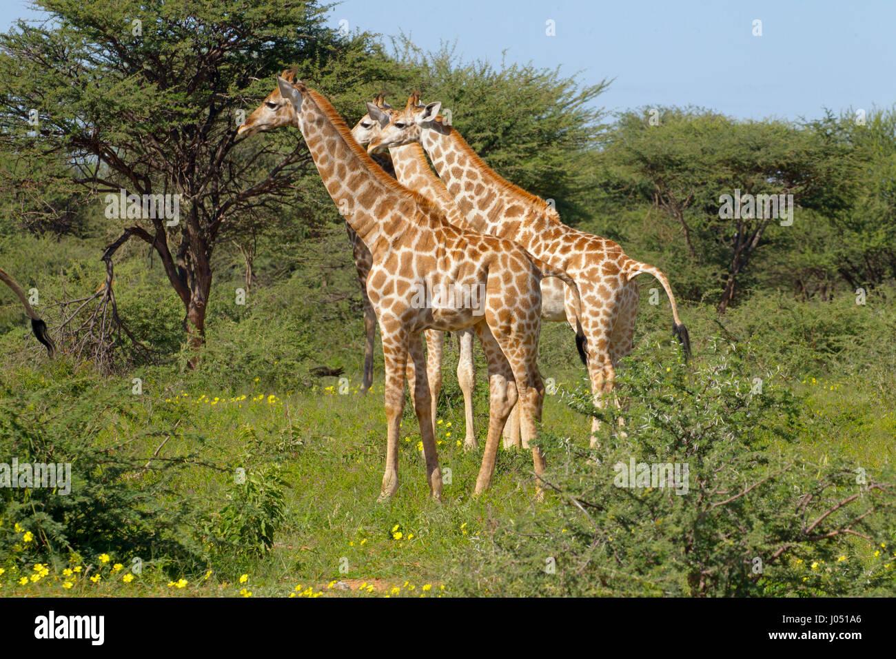 Angolan giraffe Giraffa giraffa angolensis northern Namibia. Herd feeding - Stock Image