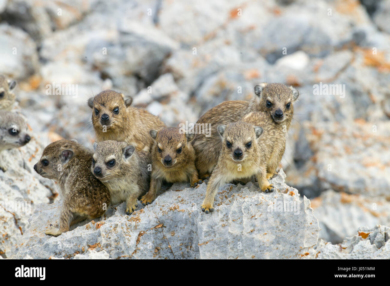 A group of young Rock hyrax Procavia capensis Namibia March Stock Photo