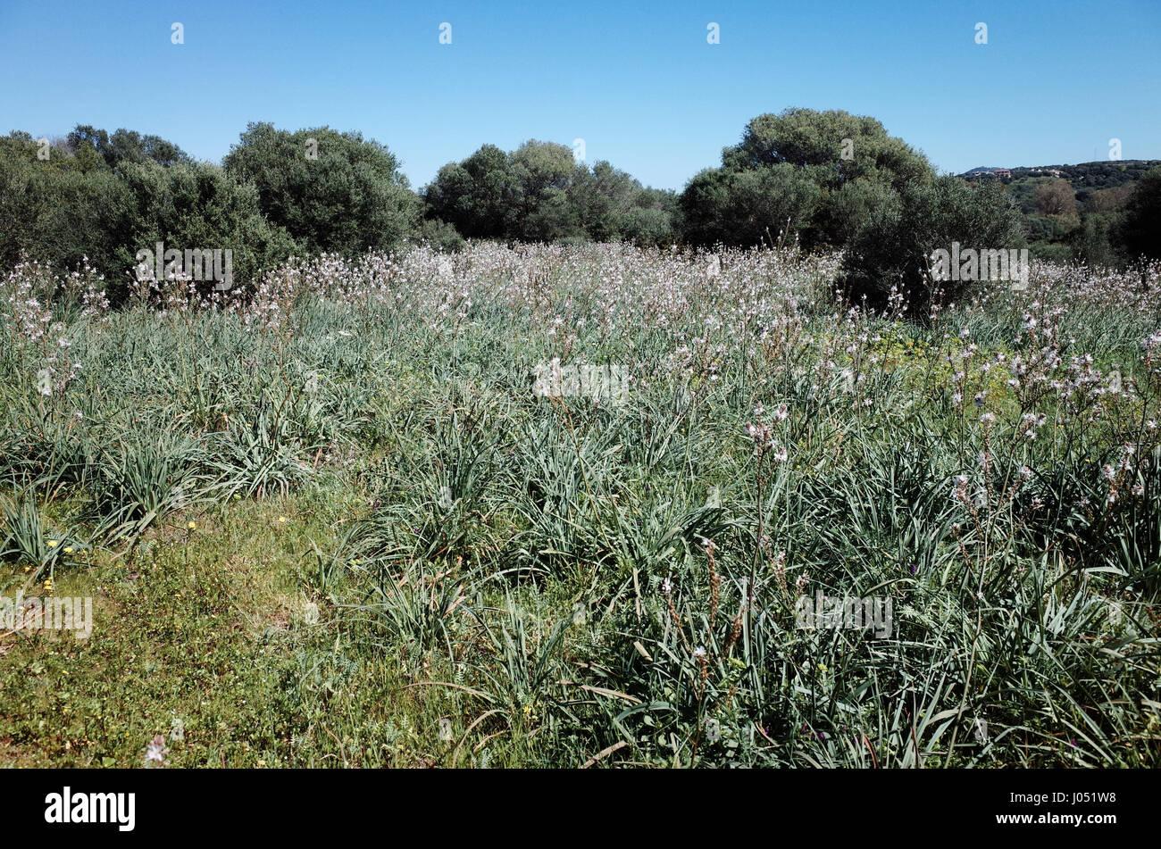 Asphodel flowering in northern Sardinia - Stock Image