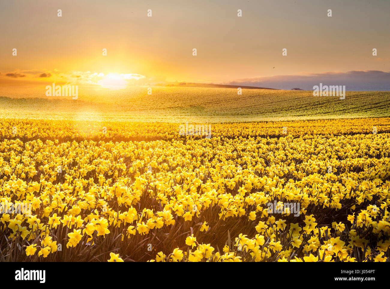 Kinneff, Aberdeenshire, UK.  UK Weather. 10th April, 2017.  Sunrise over the commercial daffodil fields of Scotland - Stock Image