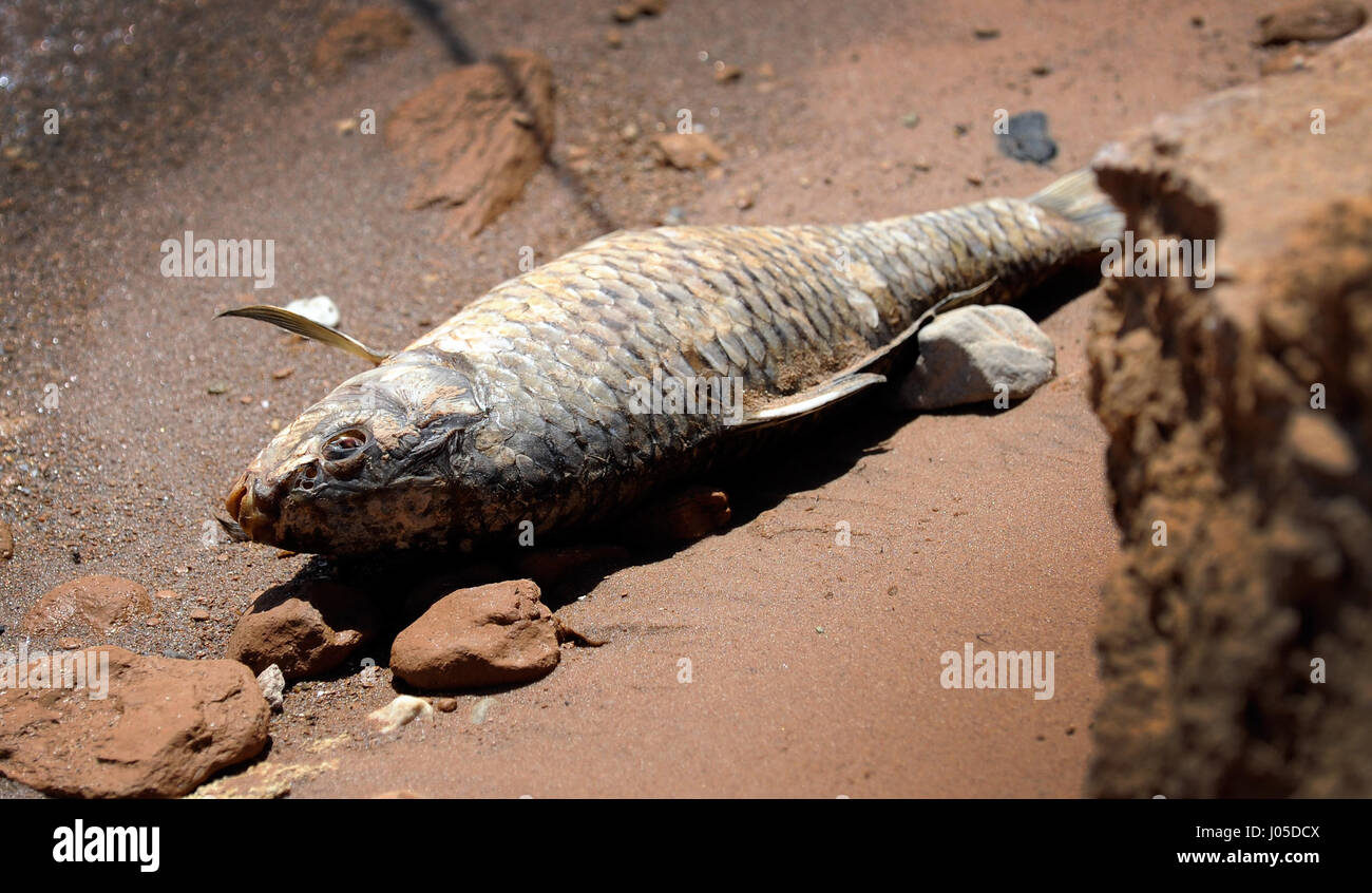 Lake Mead, Nevada, USA. 12th June, 2013. A dead carp lies along the shoreline at Stewarts Point in the Lake Mead Stock Photo