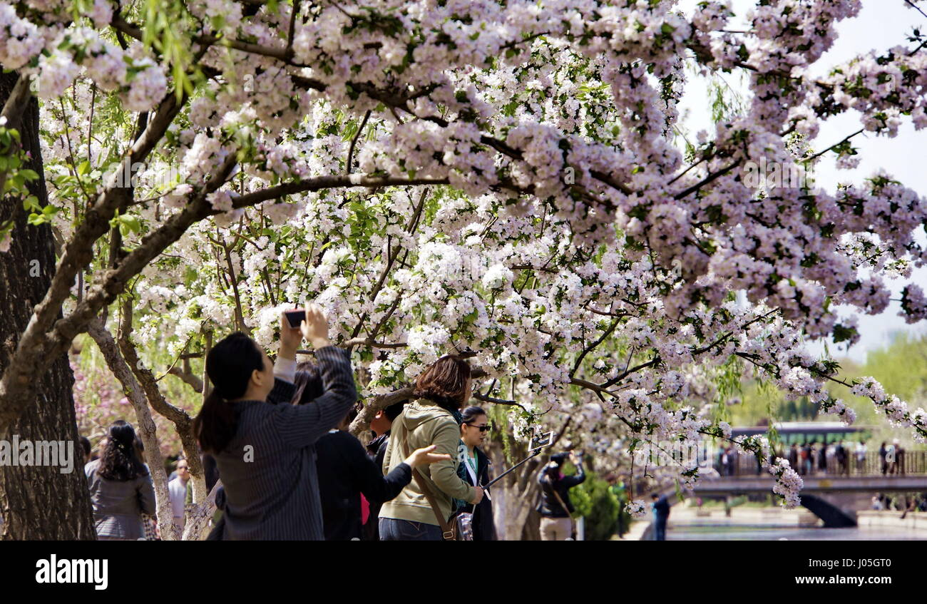 Beijing, China. 11th Apr, 2017. People admire the crabapple blooming view in the Yuan Dynasty Capital City Wall - Stock Image