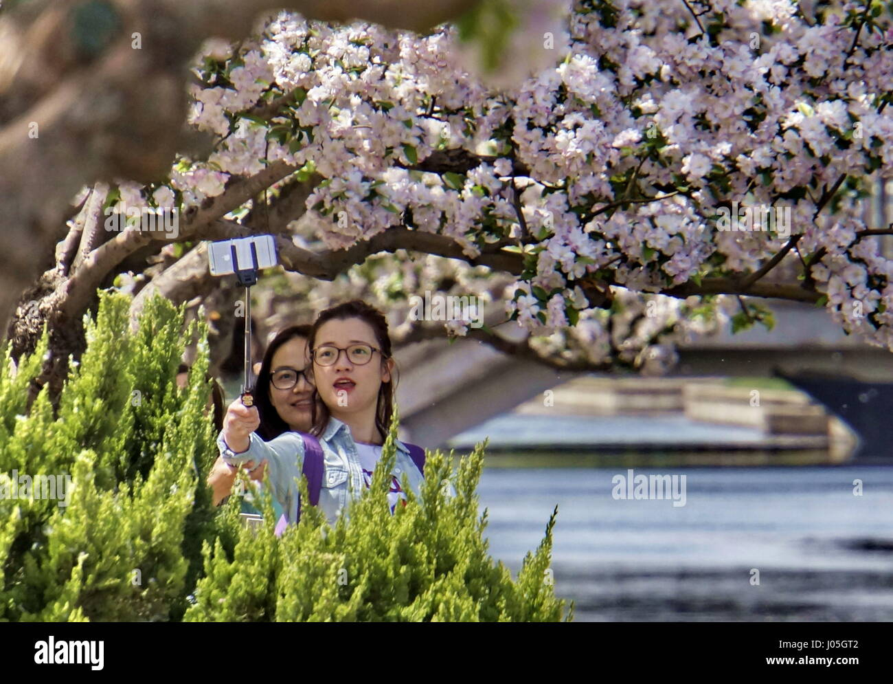 Beijing, China. 11th Apr, 2017. People take selfies with the crabapple blooming view in the Yuan Dynasty Capital - Stock Image
