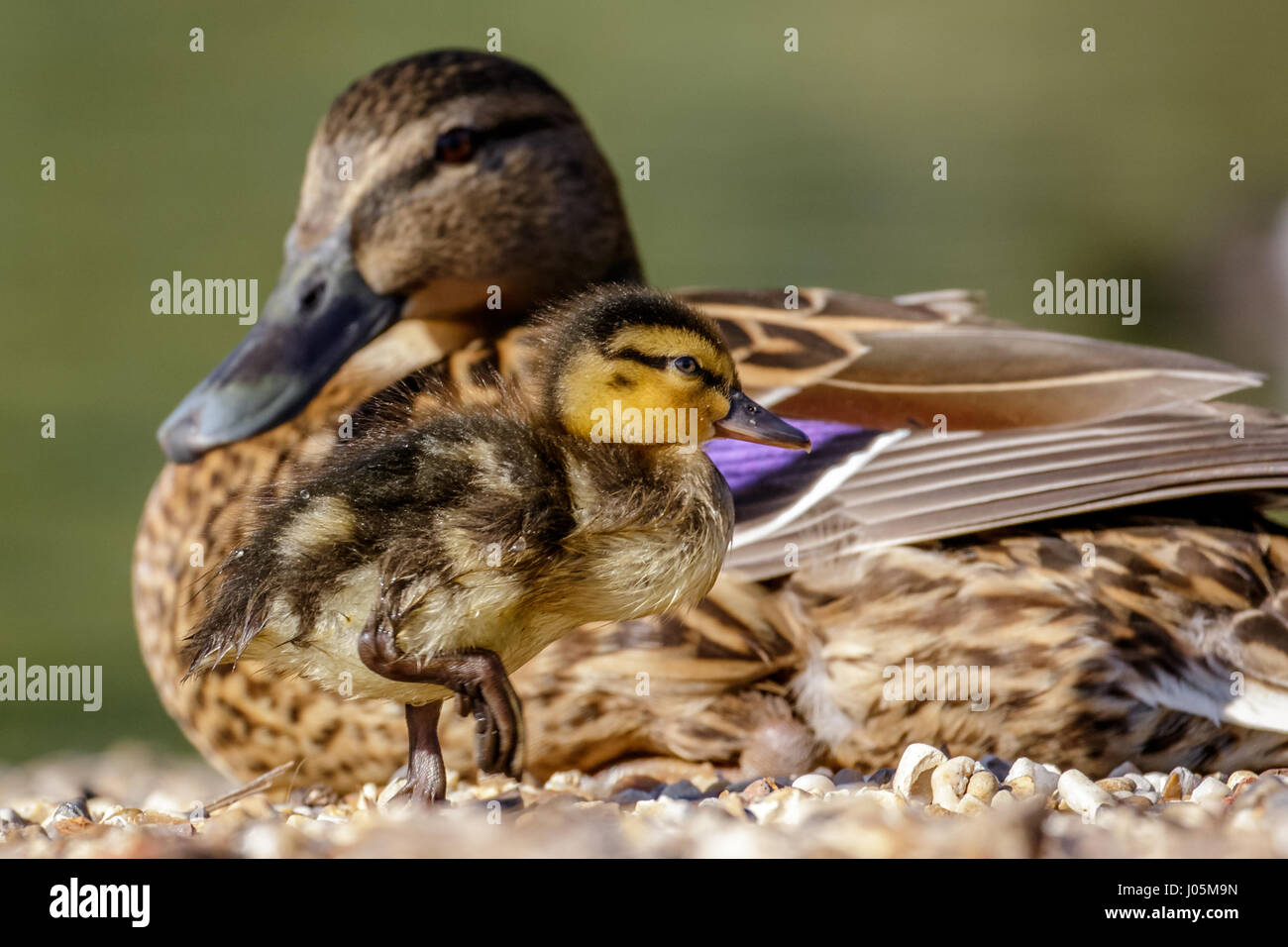 Mallard duckling (Anas platyrhynchos) with watchful mother or parent behind - Stock Image