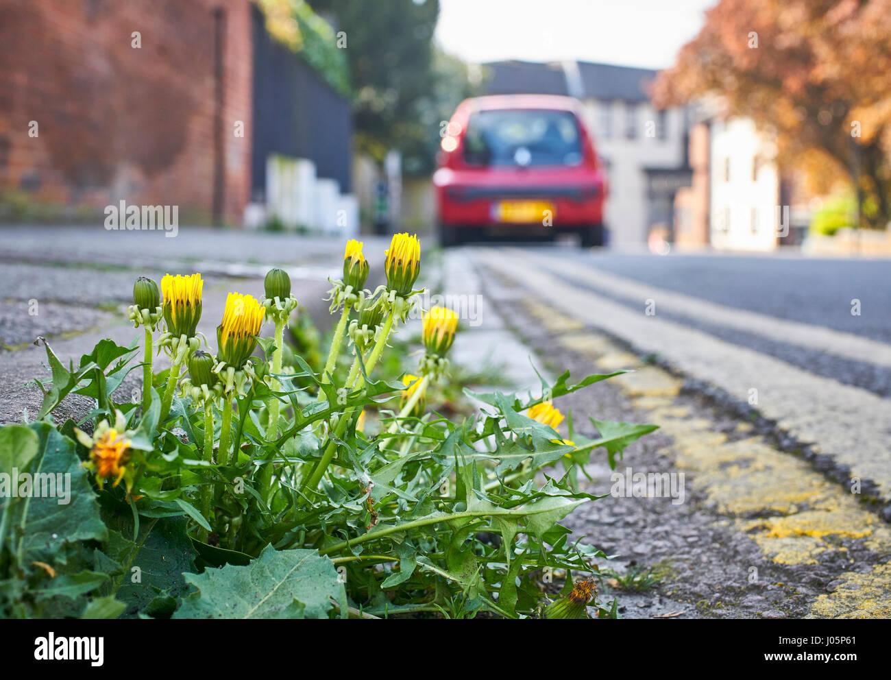 Dandelion weeds growing in the road in an urban street - Stock Image