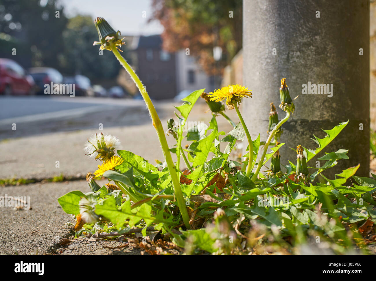 Weeds growing out of the pavement on an urban roadside - Stock Image