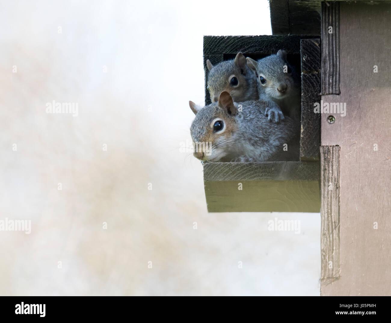 Family of Grey squirrels (Sciurus carolinensis) peering out of nest (drey), Warwickshire - Stock Image