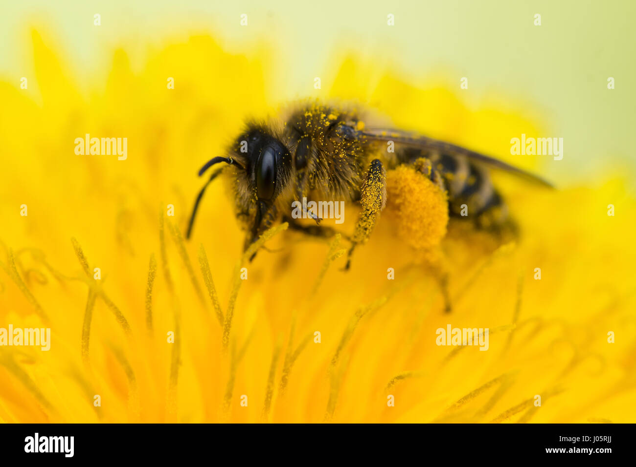 Close up on a honey bee (Apis mellifera) collecting pollen from a dandelion (taraxacum officinale) - Stock Image