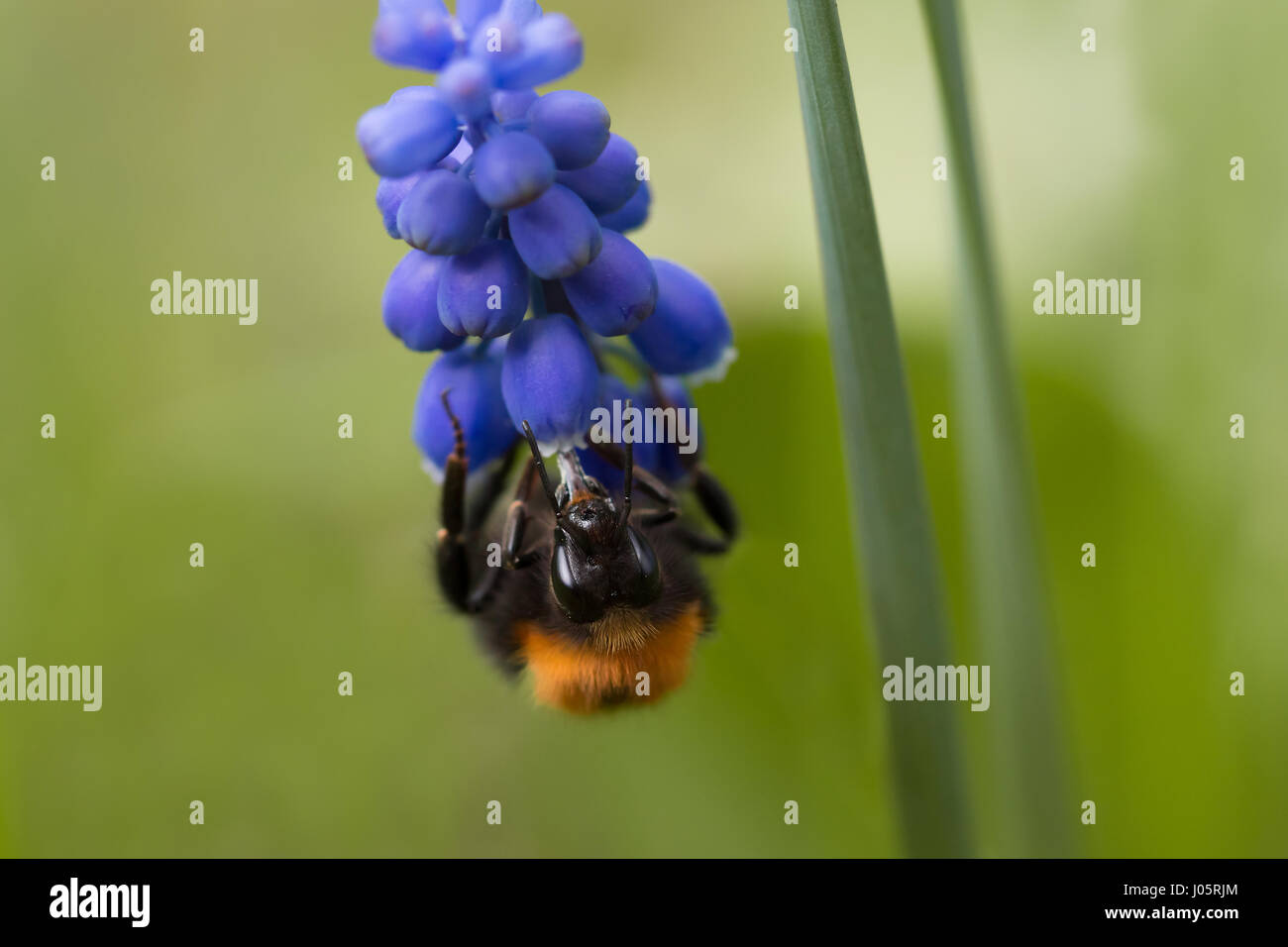 Frontal close up of a bumble bee (Genus Bombus) hanging upside down on a muscari flower (Muscari neglectum) - Stock Image
