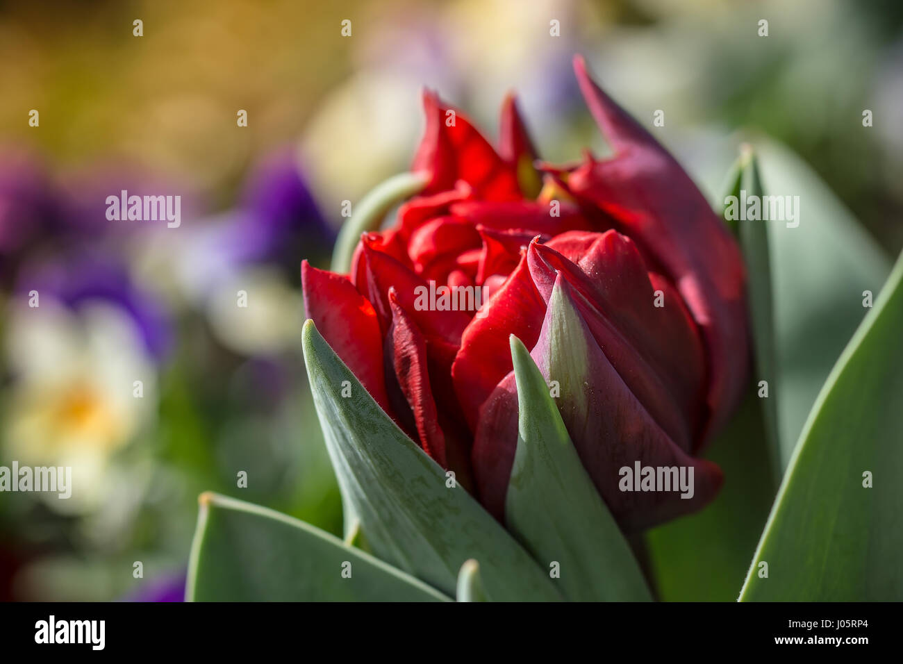 Beautiful red tulip with blurred pansies in the background. Stock Photo