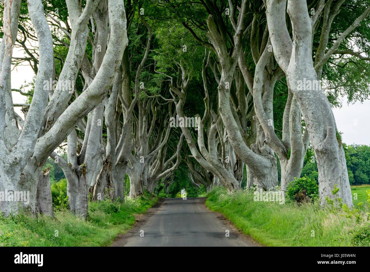 The Dark Hedges, near Armoy, County Antrim, Northern Ireland, UK - Stock Image