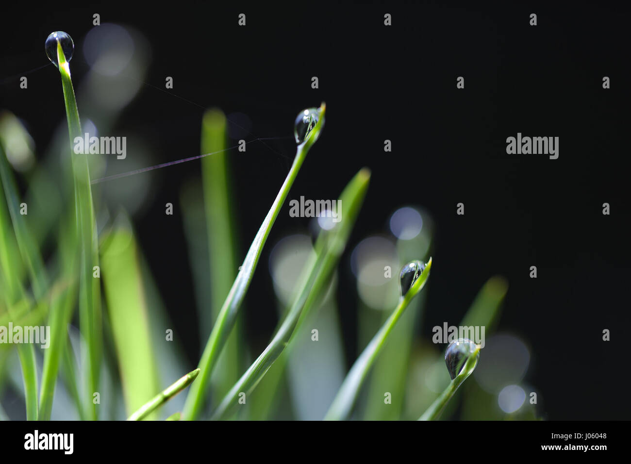 Water drops on green needled. - Stock Image