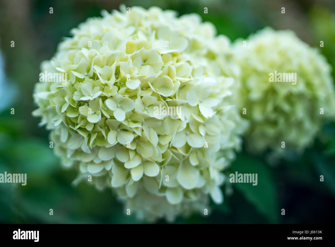 White Hydrangea Flower Background Stock Photo 137815543 Alamy