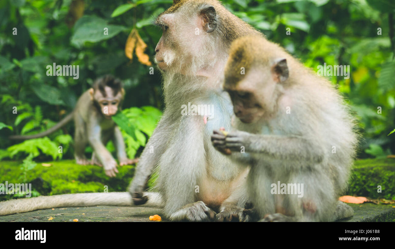 Long-tailed macaque with young ones on forage. Macaca fascicularis, in Sacred Monkey Forest, Ubud, Indonesia - Stock Image