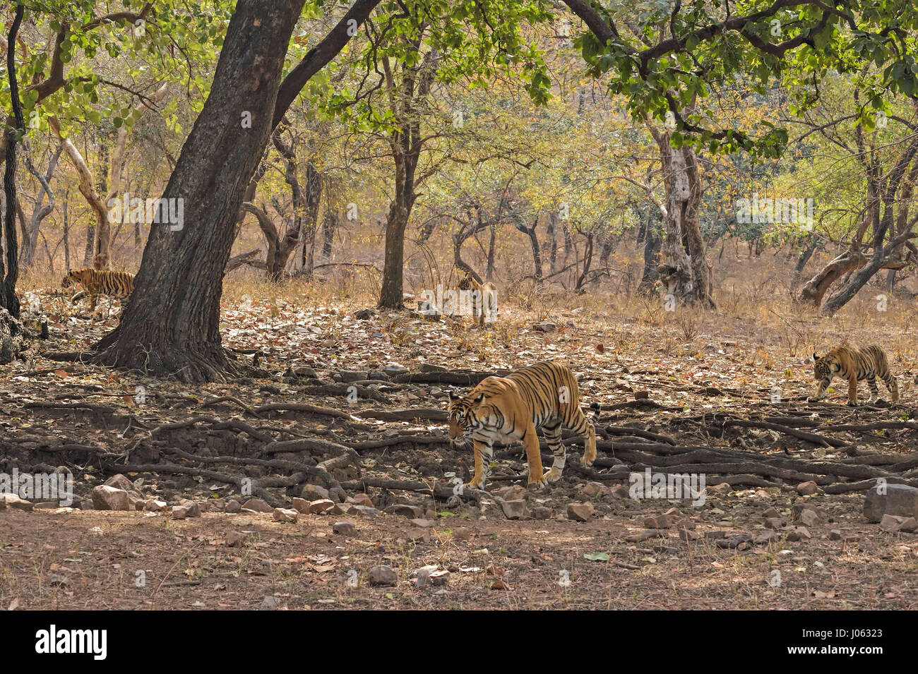 Wild Indian Tiger, mother with three young cubs, walking in the forests of Ranthambore national park, India. - Stock Image